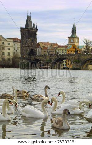 Swans On Vltava River In Prague