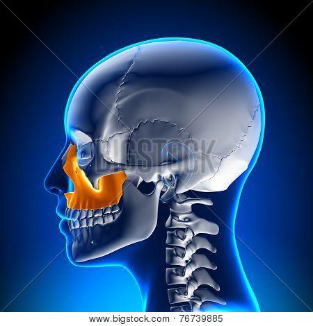 Female Maxilla - Skull Anatomy