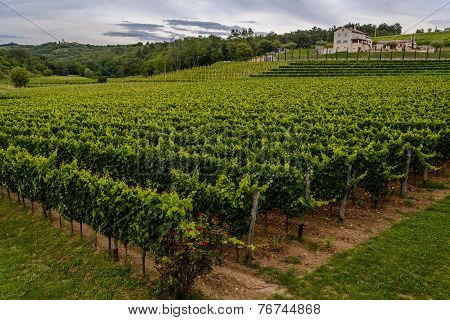 Beautiful Green Vineyard In Croatia (istria)