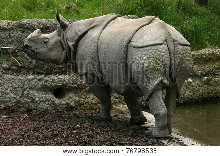Indian rhinoceros (Rhinoceros unicornis).