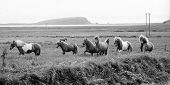 A rare species of horses - only found on Iceland, galloping along Dyrholaey in the south of the island. poster