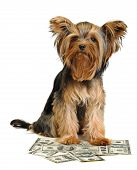 Puppy yorkshire terrier and dollars on the white background poster