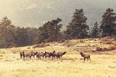 deers in Rocky Mountains NP,USA poster