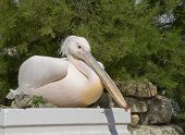 white pelican sitting on a flower bed near the green bush... poster