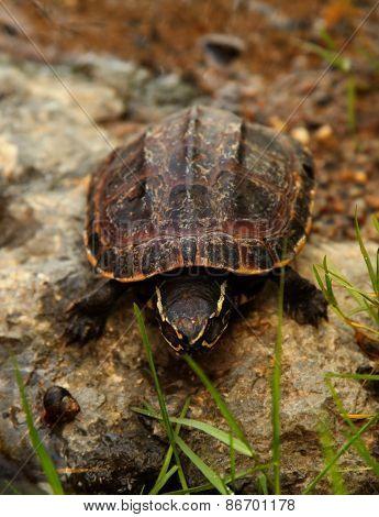 Malayan snail-eating turtle