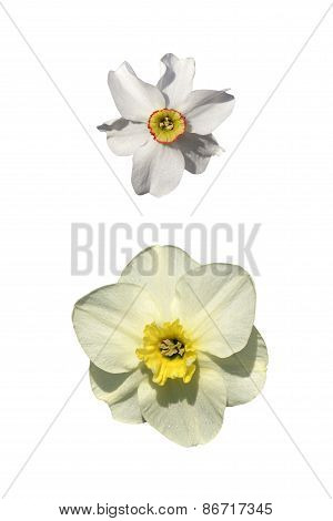 Daffodil And Narcissus Isolated