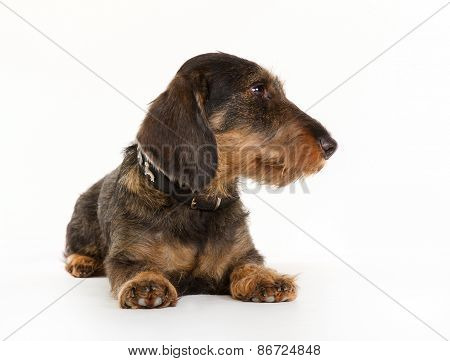 Wirehaired Dachshund Dog