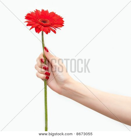 Red Flower In A Hand