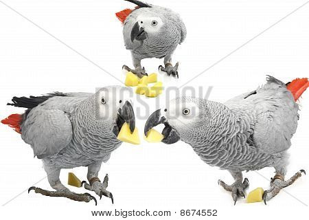 Three Jacquot Parrot With Chunks Of Potato