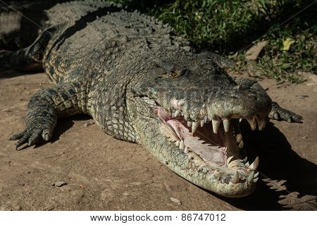 Charming Crocodile Grin.