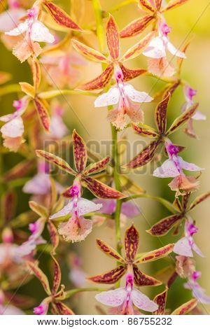 Epidendrum Stamfordianum Is An Epiphytic Orchid In The Genus Epidendrum.