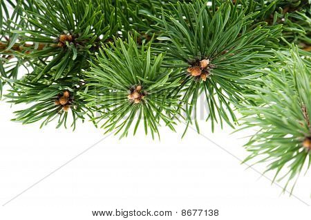 Pine Branch Isolated On The White Background
