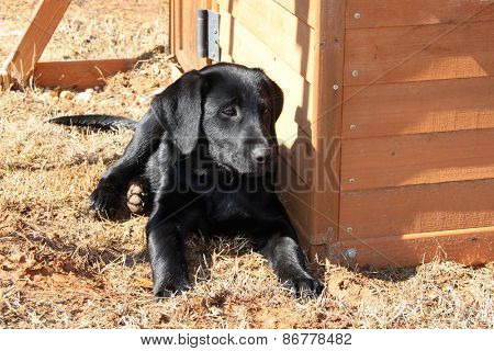 Black lab puppy enjoys cool weather outside