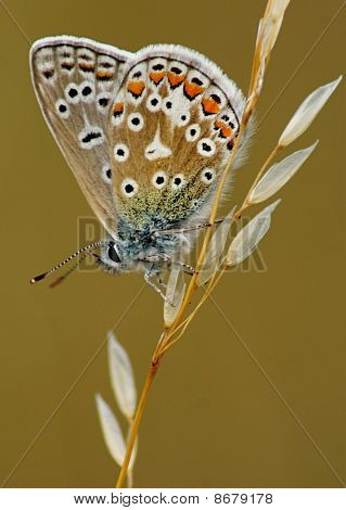 Common Blue side view