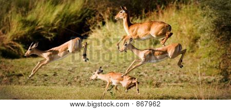 Leaping impalas