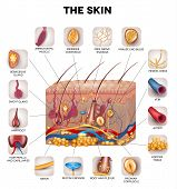 Skin anatomy detailed illustration. Beautiful bright colors. poster