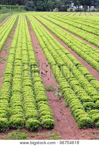 Huge Field Of Lettuce In The Plains In Summer