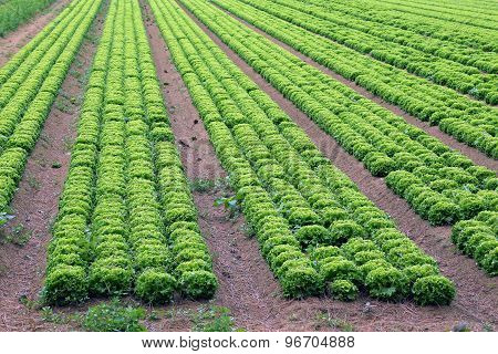 Big Field Of Green Lettuce In The Plains In Summer