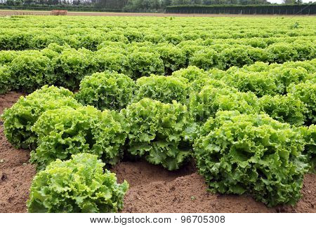 Huge Head Of Lettuce In The Vast Agricultural Plains Field