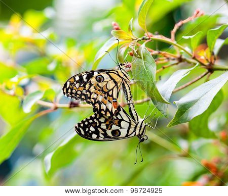 Two butterflies in copulating state