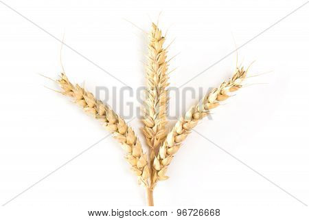 Three Wheat Ears