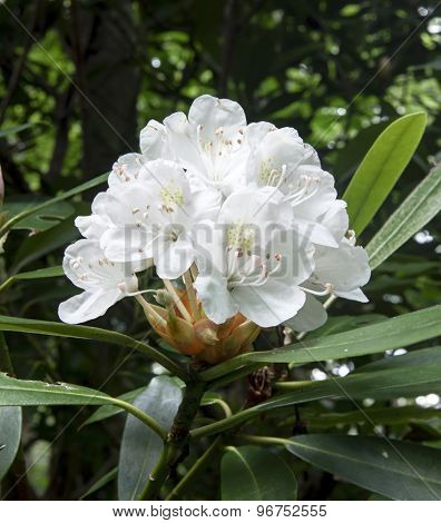 Blooming White Rhododendron, Great Smoky Mountains National Park