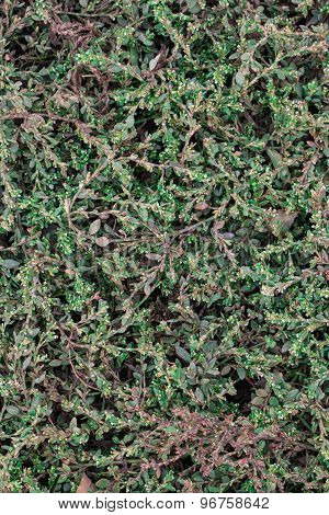 Ground cover plant background
