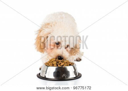 Poodle puppy eating pallets from a bowl