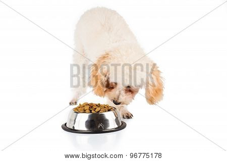 Poodle puppy sniffing dried dog food from a bowl