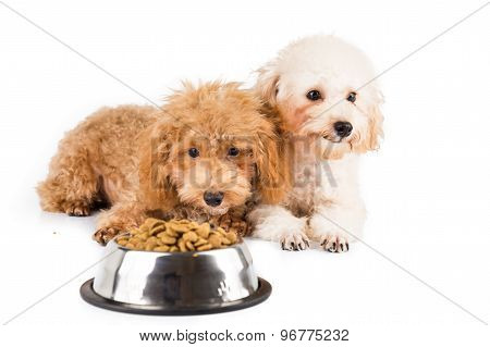 Two uninterested poodle puppies with a bowl of dog food