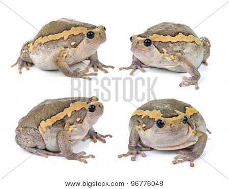 Chubby Frog On White Background