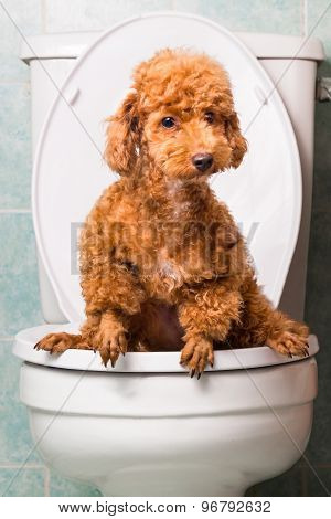 Concept of smart poodle dog pooping into toilet bowl