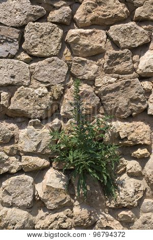 Fieldstone Wall With Blueweed