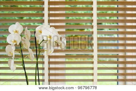 White Orchid Flower In Front Of A Window With Wooden Blinders