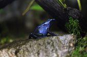 Blue poison dart frog (Dentrobates azureus), also known as the blue poison arrow frog. Wildlife animal.  poster