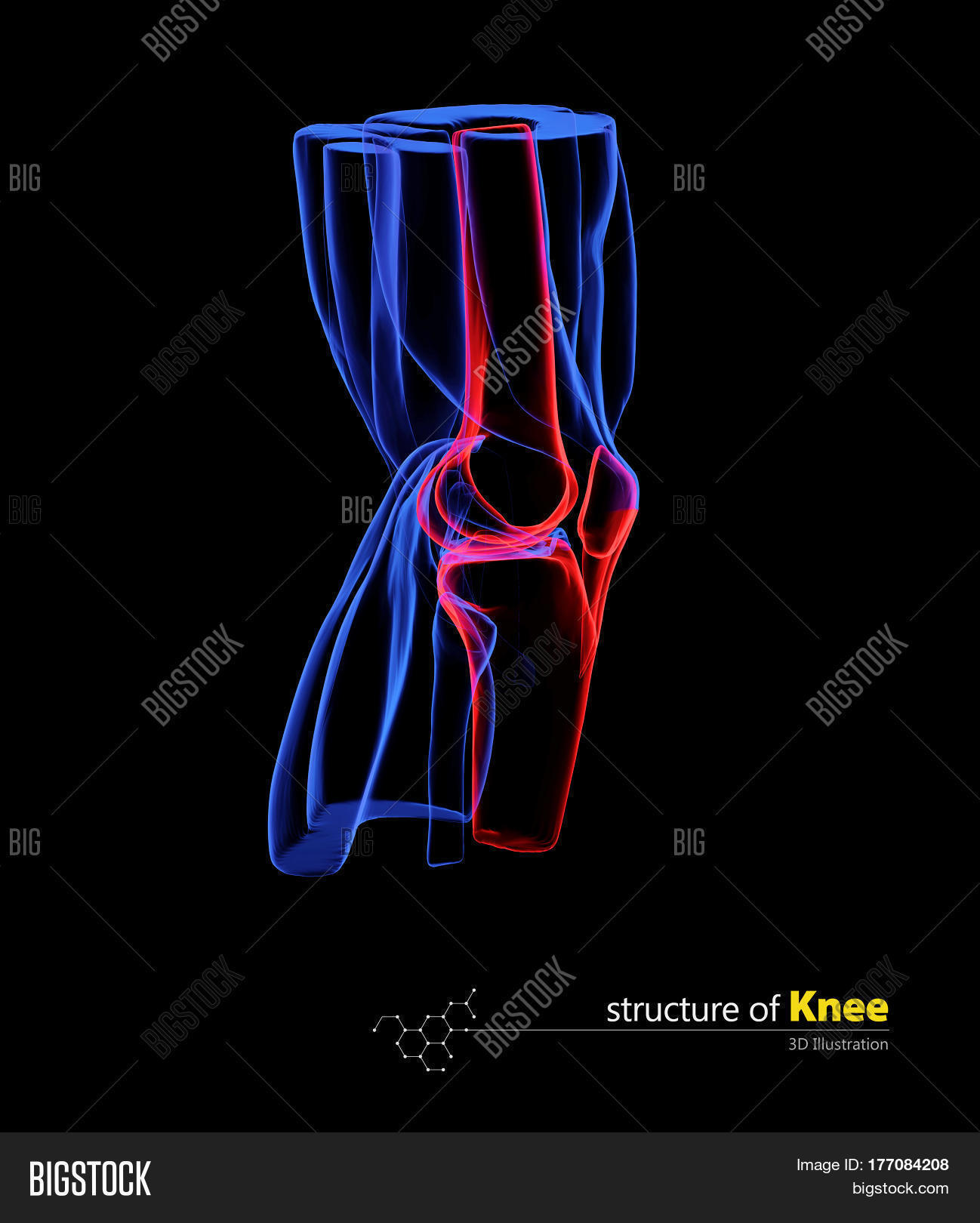 Human Knee Anatomy Image Photo Free Trial Bigstock