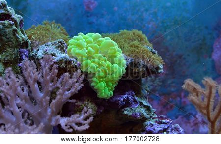 Plerogyra sinuosa, bubble coral. Reef tank, marine aquarium. Fragment of blue aquarium full of plants. A tank filled with water for keeping live underwater animals. Day view.