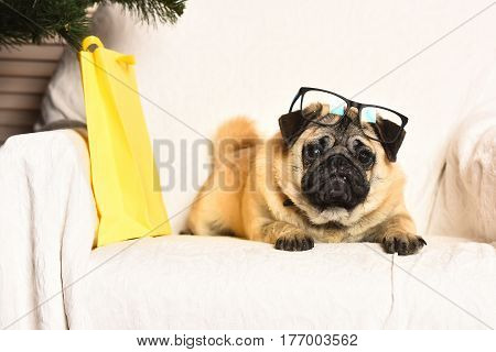 Pug dog with light brown fur and black muzzle wearing glasses sitting on chair near yellow gift package and firry tree