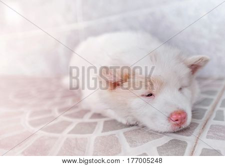 white cute puppy bangkeaw thai pedigree dog sleep on the floor