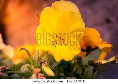 Pansies in spring. Pansies in the morning light. Yellow pansies.