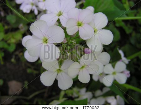 White Phlox Flowers Closeup