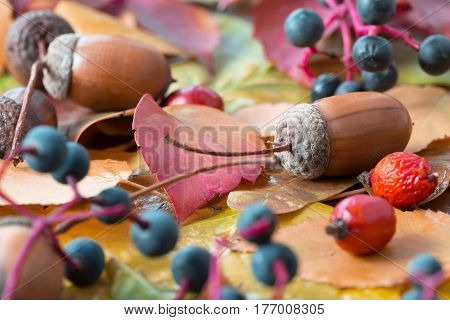 Side View of Autumnal Leaves and seasonal Fruits and Seeds Oak Acorn Briar and Bilberry