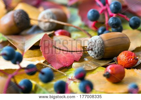 Autumnal Composition with Seasonal Fruits and Seeds Oak Acorn Briar and Bilberry