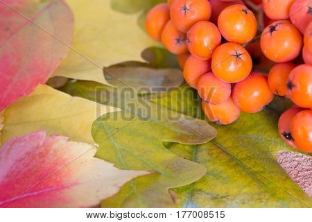 Bunch of Rowanberry on Autumnal Oak Birch and Maple Leaves Close Up