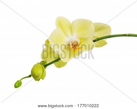 Flowers of yellow Phalaenopsis Orchid isolated on a white background