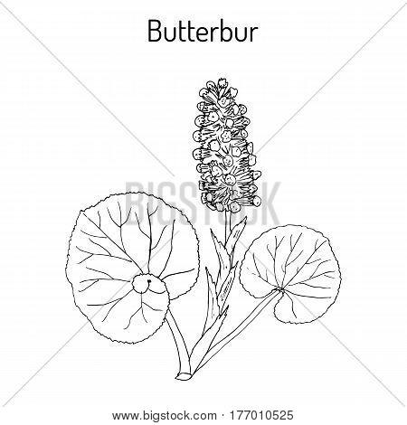 Butterbur Petasites hybridus or bog rhubarb Devil s hat pestilence wort medicinal plant. Hand drawn botanical vector illustration