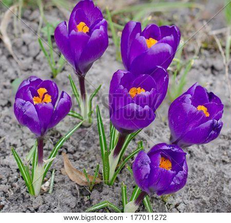 lila Krokus in der freien Natur im Frühling