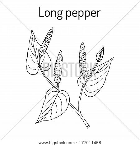 Ayurvedic plant Long pepper Piper longum pippali. Hand drawn botanical vector illustration