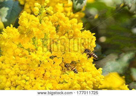 Bees (lat. Anthophila) collecting nectar from the lush yellow blossoms of mahonia Holm (lat. Mahonia aquifolium). Spring