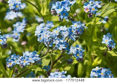 Delicate blue flowers of the forget-me-not Alpine garden (lat. (Myosotis hybrida eng. Forget-Me-Not) in the flower bed in the spring garden